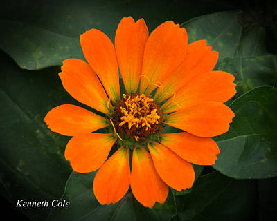 Photograph - Zinnia 2 by Kenneth Cole