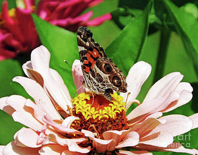 Photograph - Zinnia 33  Painted Lady Butterfly by Lizi Beard-Ward