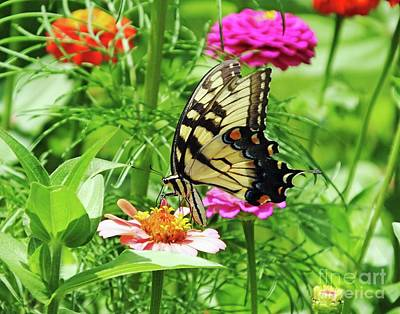 Photograph - Zinnia 35  Tiger Swallowtail by Lizi Beard-Ward