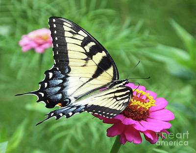 Photograph - Zinnia 37  Tiger Swallowtail by Lizi Beard-Ward