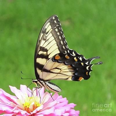 Photograph - Zinnia 42 Tiger Swallowtail by Lizi Beard-Ward