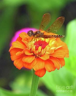 Photograph - Zinnia 49  Eastern Amberwing Dragonfly by Lizi Beard-Ward