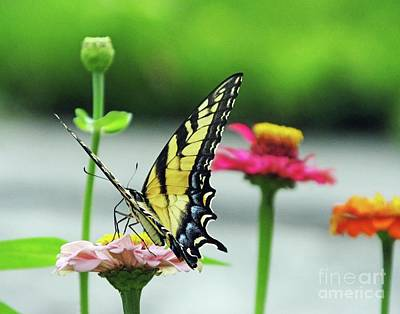 Photograph - Zinnia 60  Tiger Swallowtail by Lizi Beard-Ward