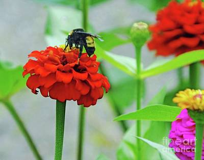 Photograph - Zinnia 61  Bumble Bee by Lizi Beard-Ward