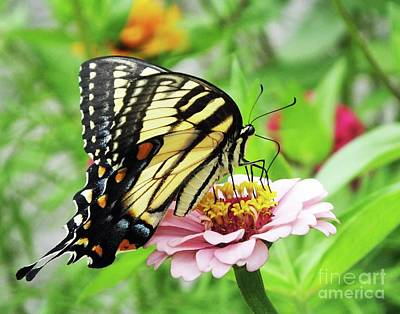 Photograph - Zinnia 64  Tiger Swallowtail by Lizi Beard-Ward