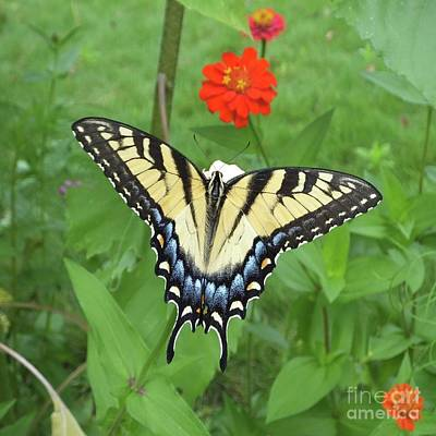 Photograph - Zinnia 66   Tiger Swallowtail by Lizi Beard-Ward