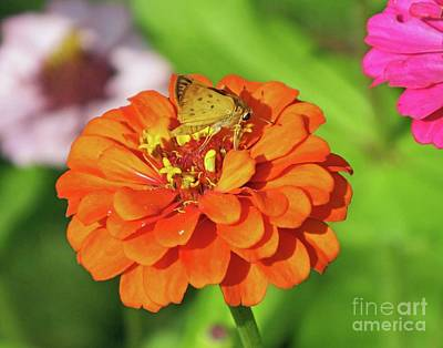 Photograph - Zinnia 67   Fiery Skipper by Lizi Beard-Ward