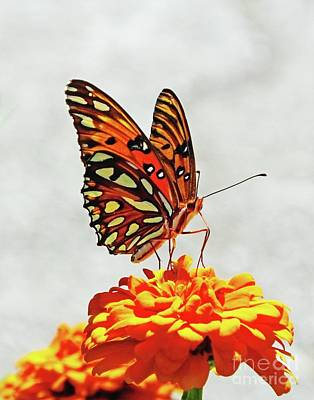 Photograph - Zinnia 68 Gulf Fritillary by Lizi Beard-Ward