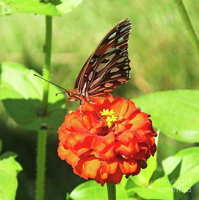 Photograph - Zinnia 69 Gulf Fritillary by Lizi Beard-Ward