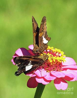 Photograph - Zinnia 70  Silver Spotted Skippers by Lizi Beard-Ward