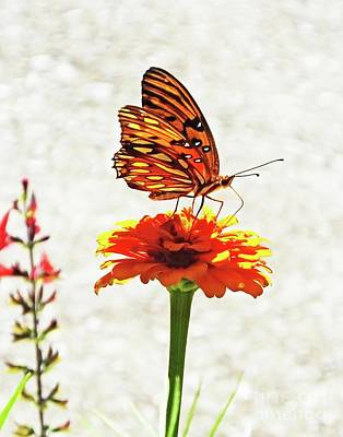 Photograph - Zinnia 71 Gulf Fritillary by Lizi Beard-Ward