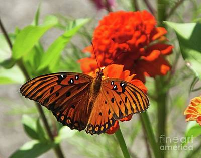 Photograph - Zinnia 72  Gulf Fritillary by Lizi Beard-Ward