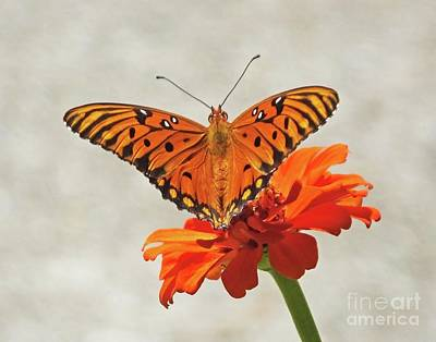 Photograph - Zinnia 74  Gulf Fritillary by Lizi Beard-Ward