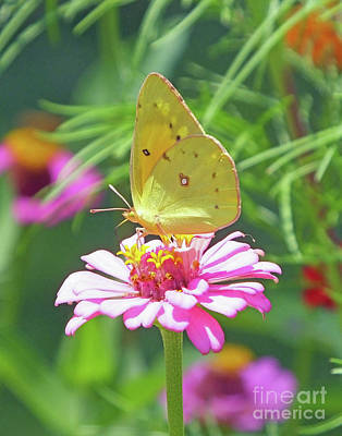 Photograph - Zinnia 75  Yellow Sulphur by Lizi Beard-Ward