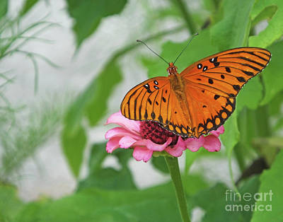 Photograph - Zinnia 79 Fritillary by Lizi Beard-Ward