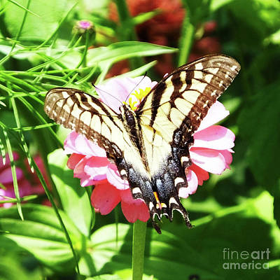 Photograph - Zinnia 80 Tiger Swallowtail by Lizi Beard-Ward