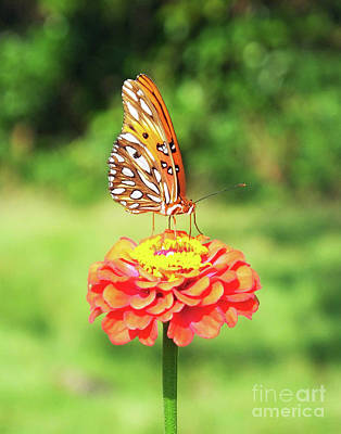 Photograph - Zinnia 81 Fritillary by Lizi Beard-Ward