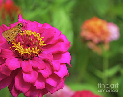 Photograph - Zinnia 87 Fiery Skipper by Lizi Beard-Ward