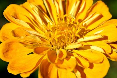 Photograph - Zinnia Amber by David Dunham
