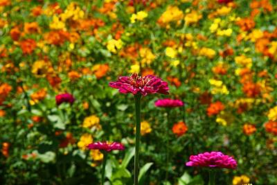 Photograph - Zinnia Among Cosmos by Kathryn Meyer