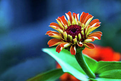 Zinnia Ascending Art Print by Mick Anderson