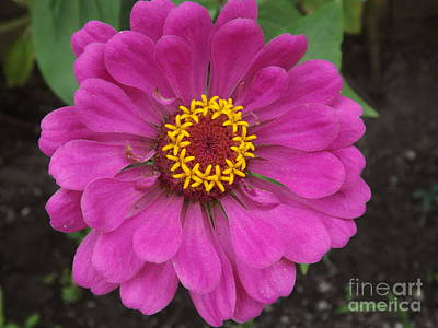 Photograph - Zinnia Beauty by Lingfai Leung