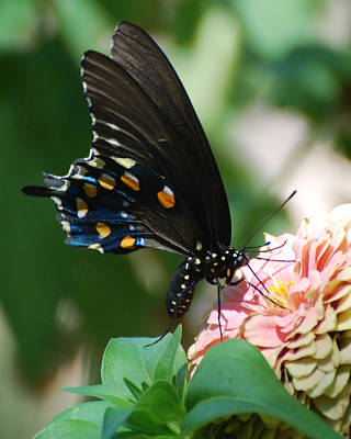 Zinnia Butterfly Art Print