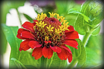 Photograph - Zinnia Detail by Mick Anderson
