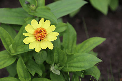 Photograph - Zinnia Dow Gardens 062618 by Mary Bedy