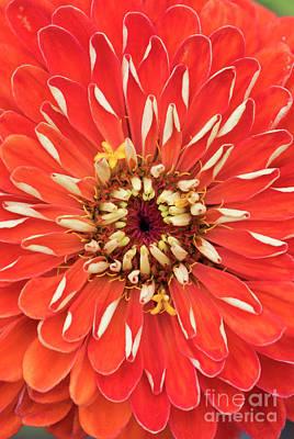 Photograph - Zinnia Elegans Benarys 'giant Orange' by Tim Gainey