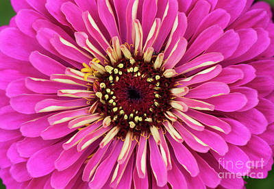 Photograph - Zinnia Elegans Uproar Rose by Tim Gainey