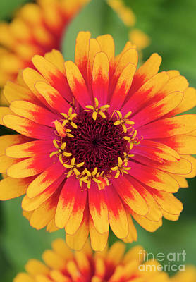 Photograph - Zinnia Elegans Zowie Yellow Flame Flower  by Tim Gainey