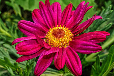 Photograph - Zinnia Flower... 1 by Isam Awad