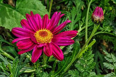 Photograph - Zinnia Flower... 2 by Isam Awad