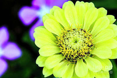 Photograph - Zinnia Flower by Ben Graham