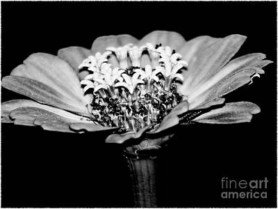 Photograph - Zinnia Flower Black And White Fine Art Photography by Carol F Austin
