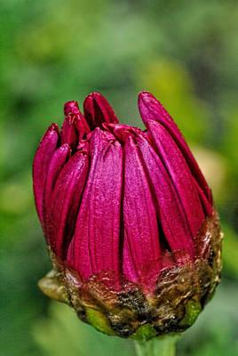 Photograph - Zinnia Flower Blossom by Isam Awad