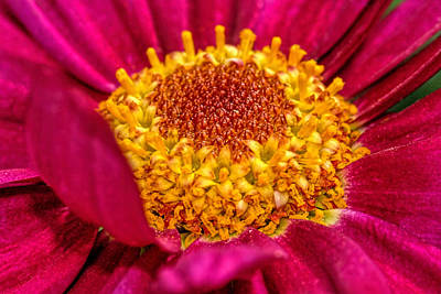 Photograph - Zinnia Flower Close-up... 2 by Isam Awad
