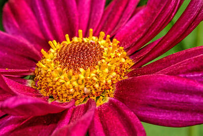 Photograph - Zinnia Flower Close-up... 3 by Isam Awad