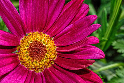 Photograph - Zinnia Flower Close-up... 5 by Isam Awad