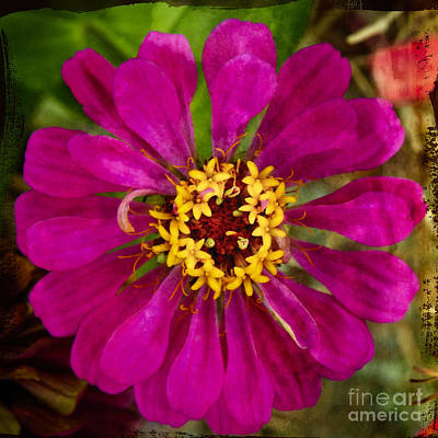 Photograph - Zinnia Flower by Ella Kaye Dickey