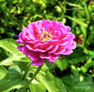 Photograph - Zinnia Flower Pink Tones by Dave Nevue
