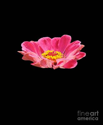 Photograph - Zinnia Flower by Robert E Alter Reflections of Infinity