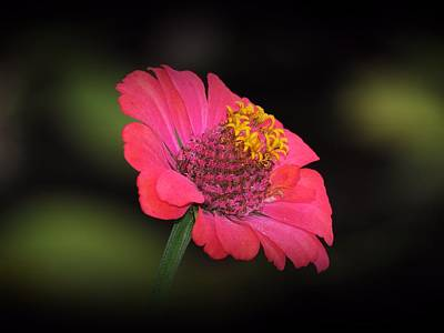 Photograph - Zinnia Glow by MTBobbins Photography