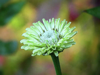 Photograph - Zinnia Green - Brush Strokes by MTBobbins Photography