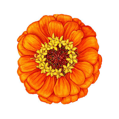Painting - Zinnia In Orange by Suzannah Alexander