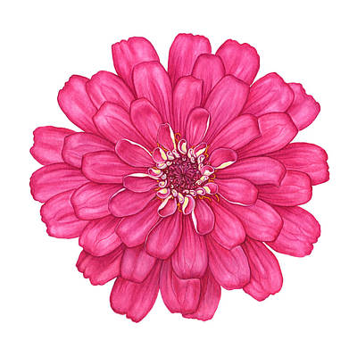 Painting - Zinnia In Pink by Suzannah Alexander