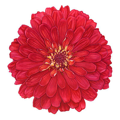 Painting - Zinnia In Red by Suzannah Alexander