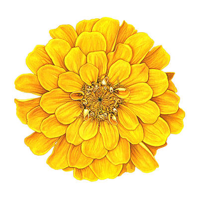 Painting - Zinnia In Yellow by Suzannah Alexander