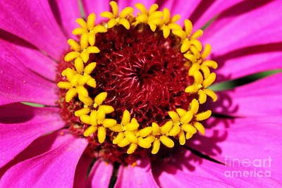Photograph - Zinnia Macro by Angela Rath